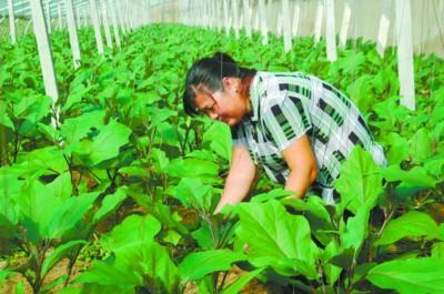 农户王素华在自家大棚里辛勤劳作