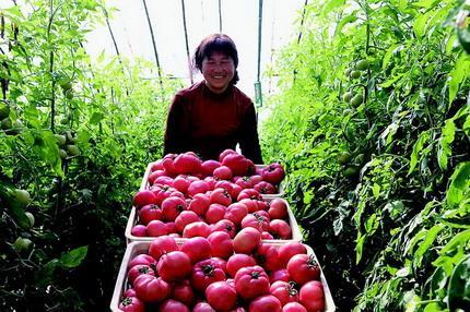 大棚西红柿喜获丰收