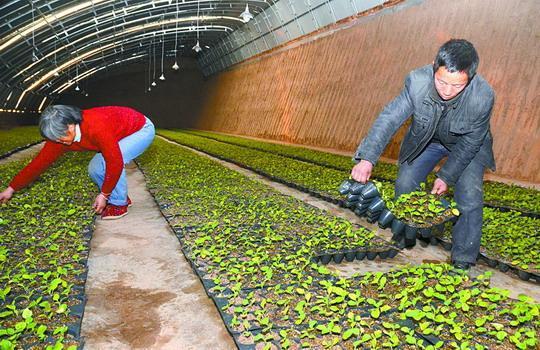 1月8日,菜农在日光大棚中管理秧苗。